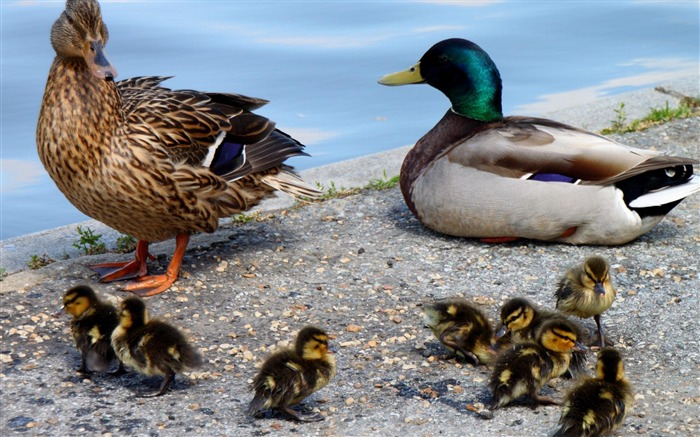 Mallard-Animal wallpaper selection Views:3472