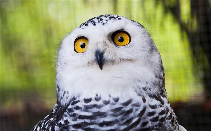 Snowy Owl-Animal wallpaper Views:13304 Date:7/27/2012 2:13:14 AM