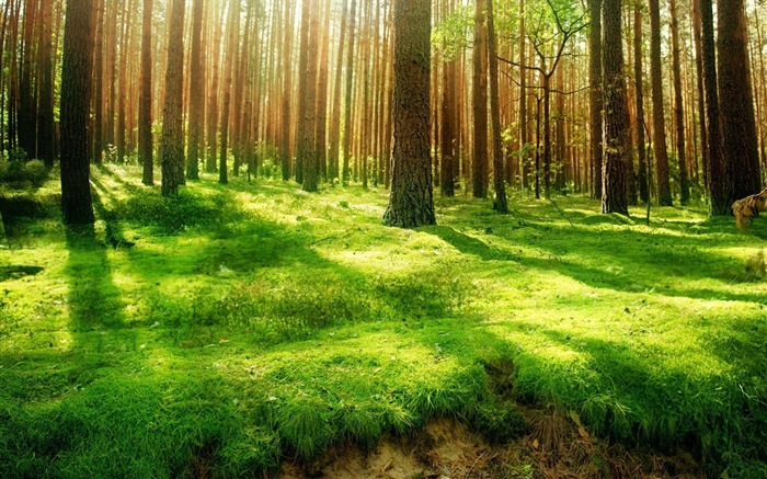Sunshine through Forest Desktop wallpaper Views:17100