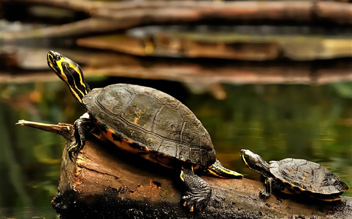 Turtle-Animal wallpaper Views:7586 Date:7/27/2012 2:16:36 AM