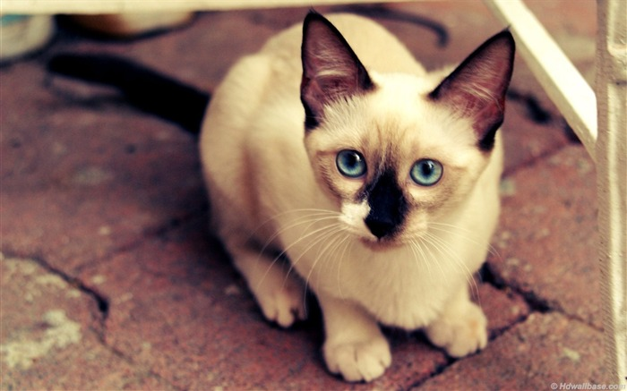 blue eyes siamese cat-Animal wallpaper Views:19248 Date:7/27/2012 2:03:13 AM