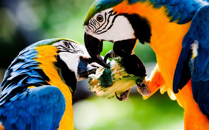 ird Blue and yellow Macaw-Animal wallpaper selection Views:7112