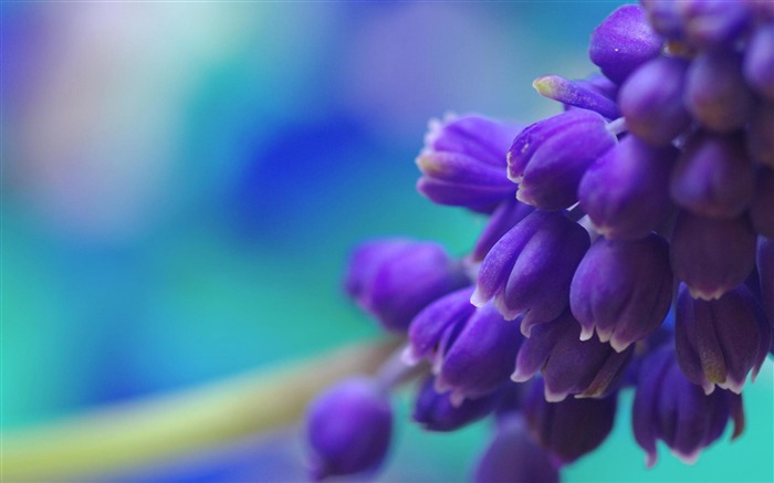 Muscari-flowers photography wallpaper  Views:5935