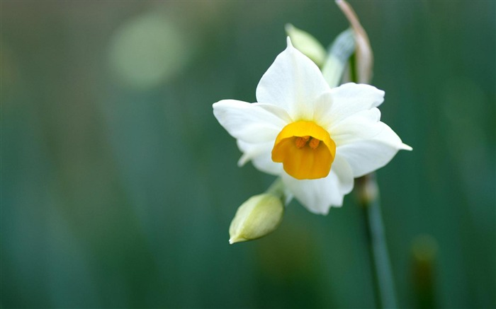Narcissus-flowers photography wallpaper  Views:5194