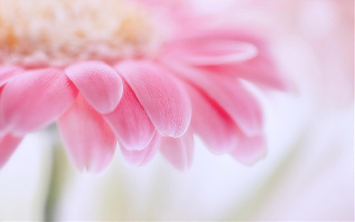 Pink Gerbera-flowers photography wallpaper  Views:23050