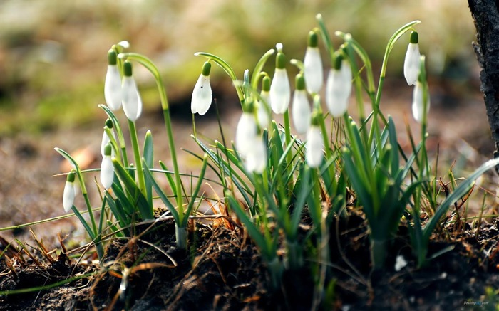 aesthetic snowdrop-Flower Desktop wallpaper Views:5220