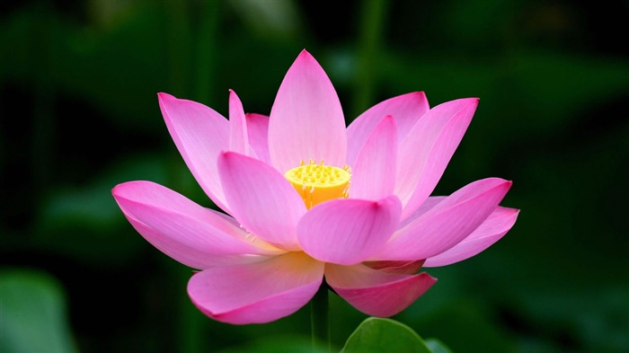 pink lotus-Flower Desktop wallpaper Views:22299