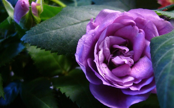 purple rose-flowers photography wallpaper  Views:10590