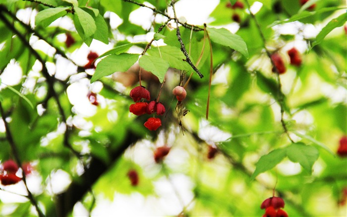 Berries-plants photography wallpaper Views:5343