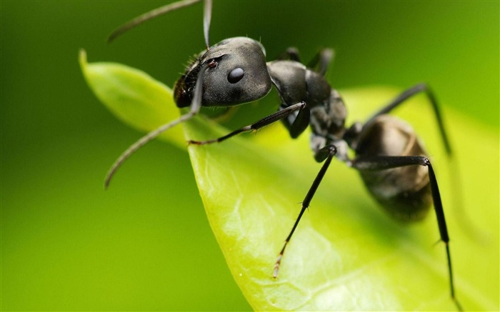Black Ant-Animal World Wallpaper Views:9784