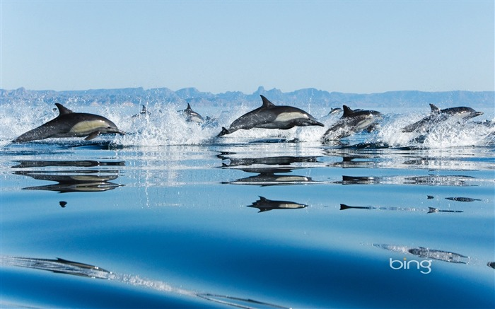 California Gulf of dolphins-Bing Wallpaper Views:55548