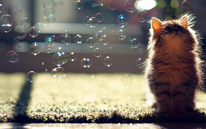 Cat Soap Bubble-Animal World Wallpaper Views:20548
