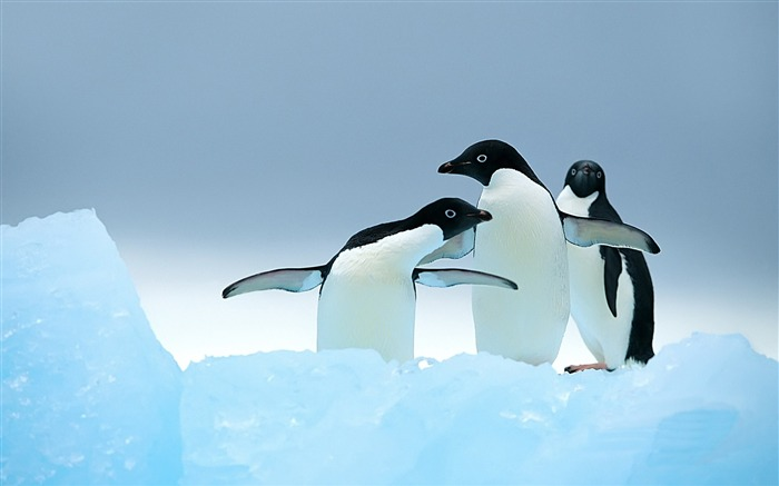 Cute Penguins-wild animals photo wallpaper Views:15900 Date:9/10/2012 7:56:02 PM