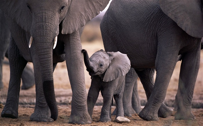 Elephant family-wild animals photo wallpaper Views:7648 Date:9/10/2012 7:59:07 PM