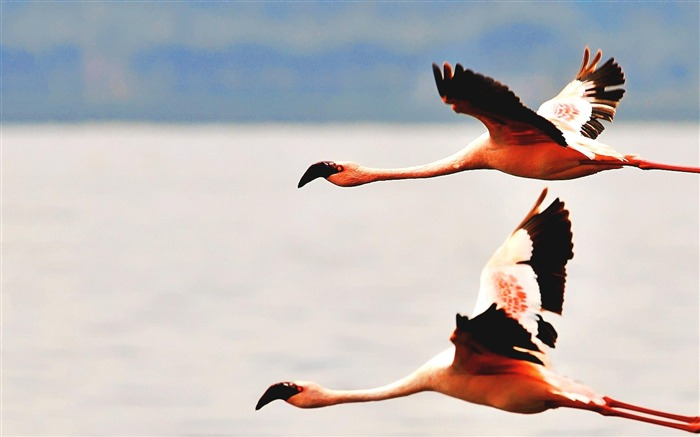 Flamingos-Animal World Wallpaper Views:6044