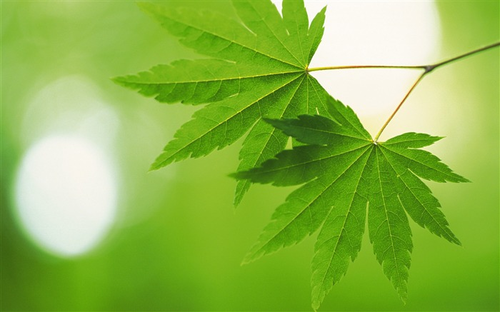 Fresh green leaves theme Desktop Wallpapers Views:16558