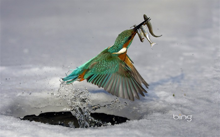 Kingfisher caught fish of the moment-Bing Wallpaper Views:26094