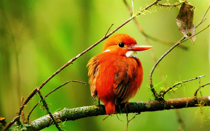 Madagascar Pygmy Kingfisher-Animal World Wallpaper Views:8288