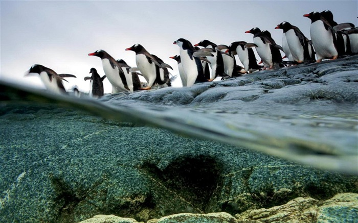 Penguins-wild animals photo wallpaper Views:5868 Date:9/10/2012 7:54:57 PM