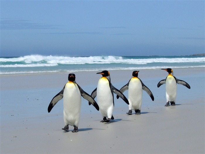 Penguins on the beach-wild animals photo wallpaper Views:21711 Date:9/10/2012 7:55:36 PM