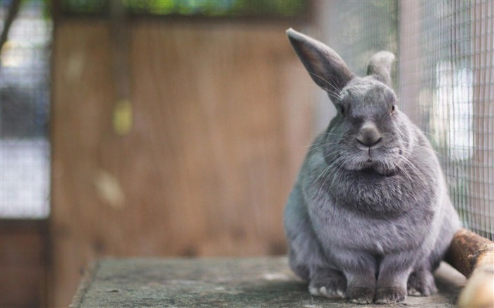 Rabbit Cute Gray-Animal World Wallpaper Views:7210