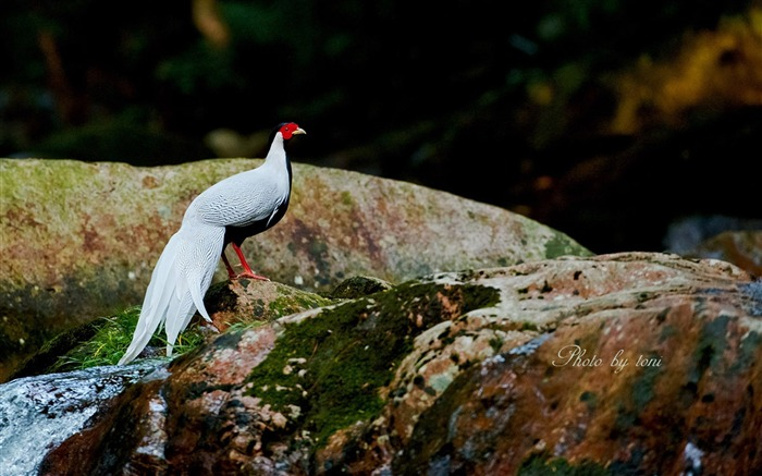 Silver Pheasant-Birds animal photography wallpaper Views:7077