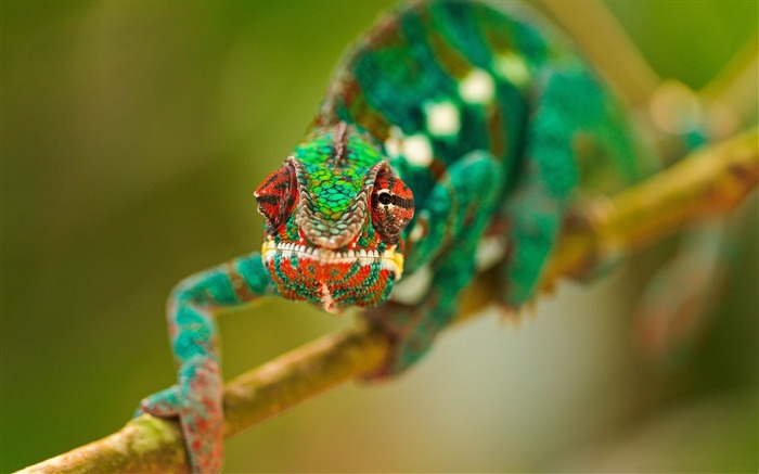 colorful chameleon-Natural animal wallpapers Views:11641
