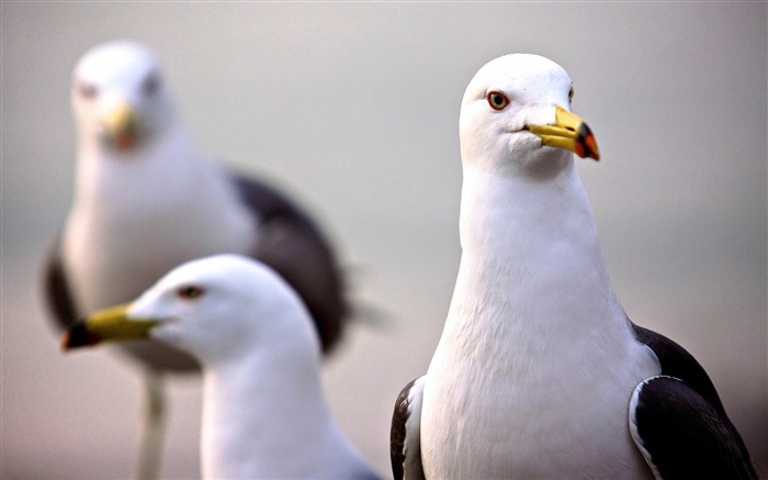 curious seagull-Natural animal wallpapers Views:5721