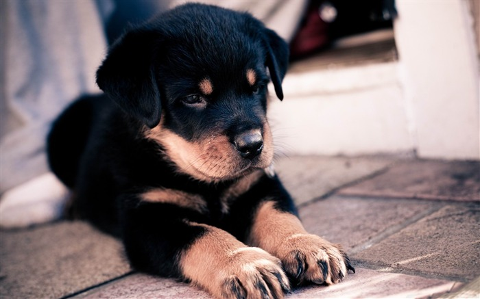 cute rottweiler puppy-Natural animal wallpapers Views:13805