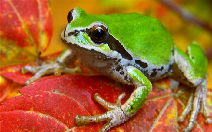 frog on leaf-Natural animal wallpapers Views:7653