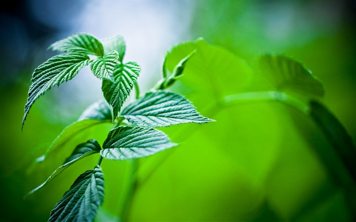 green mint leaves-plants photography wallpaper Views:9780
