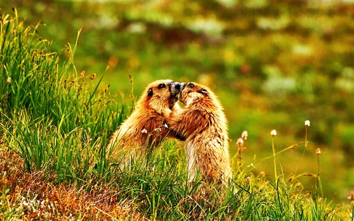 marmot push Olympic National Park-Animal World Wallpaper Views:11588