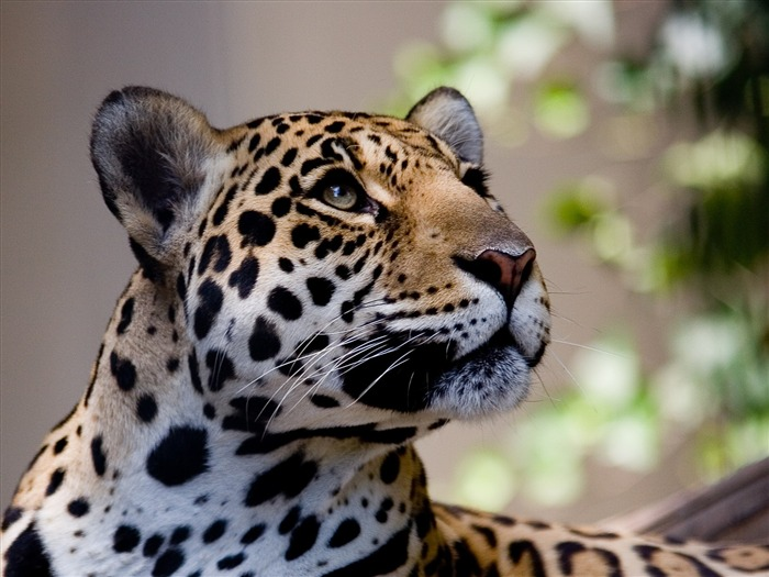 the leopard is curious-wild animals photo wallpaper Views:5183 Date:9/10/2012 7:57:27 PM
