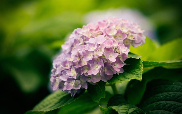 Beautiful and elegant hydrangeas Desktop Wallpaper 02 Views:7434 Date:10/10/2012 8:39:42 PM