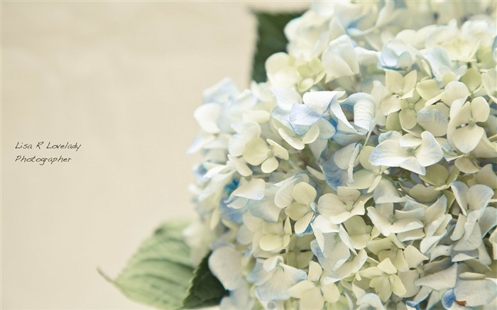 Beautiful and elegant hydrangeas Desktop Wallpaper 04 Views:10465 Date:10/10/2012 8:40:29 PM