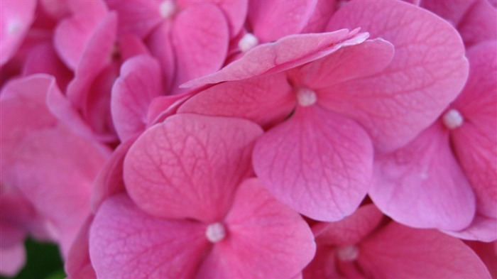 Beautiful and elegant hydrangeas Desktop Wallpaper 06 Views:5256 Date:10/10/2012 8:41:02 PM