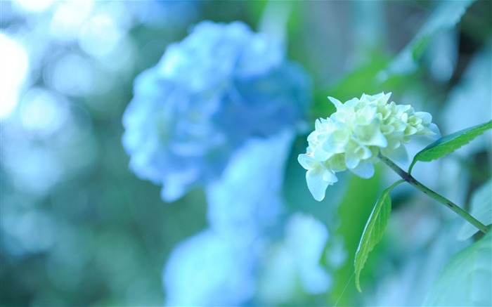 Beautiful and elegant hydrangeas Desktop Wallpaper 07 Views:15309 Date:10/10/2012 8:41:20 PM