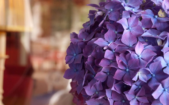 Beautiful and elegant hydrangeas Desktop Wallpaper 10 Views:6228 Date:10/10/2012 8:42:18 PM