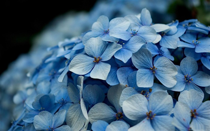 Beautiful and elegant hydrangeas Desktop Wallpaper 11 Views:8641 Date:10/10/2012 8:42:38 PM