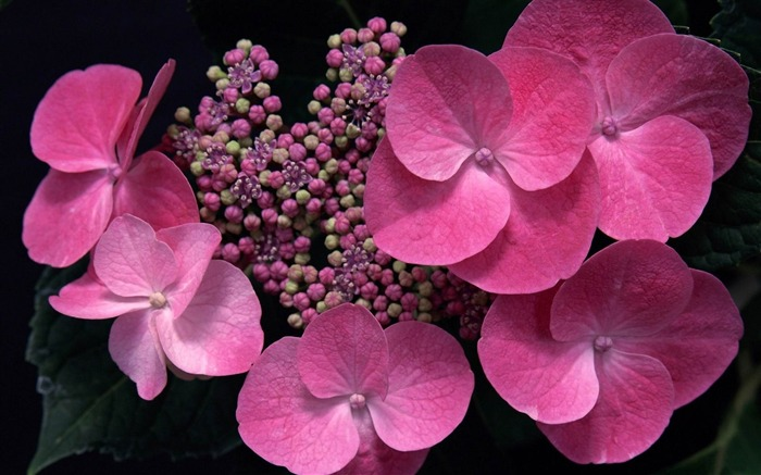 Beautiful and elegant hydrangeas Desktop Wallpaper 13 Views:5393 Date:10/10/2012 8:43:11 PM