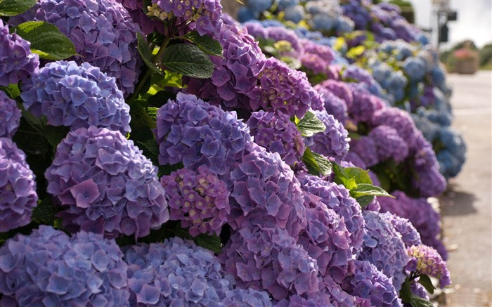 Beautiful and elegant hydrangeas Desktop Wallpaper 14 Views:10096 Date:10/10/2012 8:43:29 PM