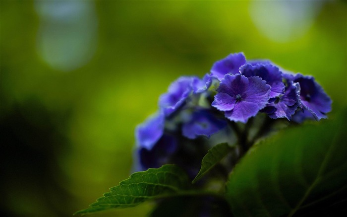 Beautiful and elegant hydrangeas Desktop Wallpaper Views:32037