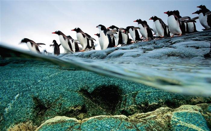 Gentoo penguins in Antarctica-MAC OS X Mountain Lion HD Wallpapers Views:18343