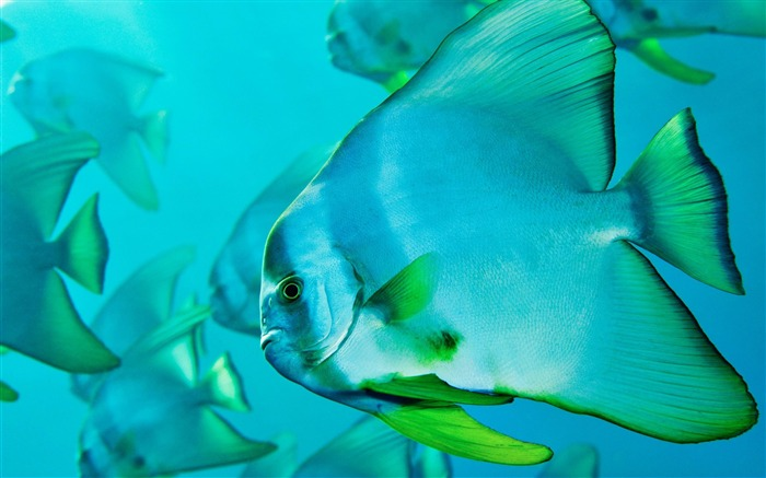 Japan Batfish-MAC OS X Mountain Lion HD Wallpapers Views:9512
