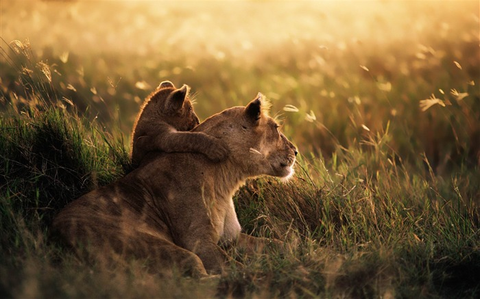 Lion of the Serengeti National Park-MAC OS X Mountain Lion HD Wallpapers Views:147374