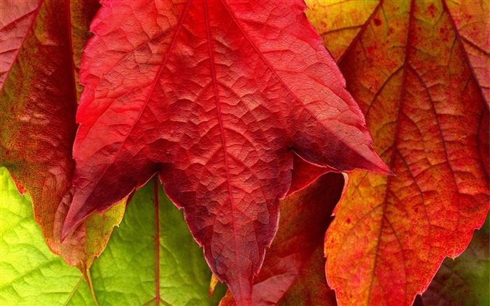 Macro red Leaves-plants photography Wallpaper Views:4308