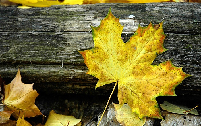 Maple Leaves-plants photography Wallpaper Views:4366