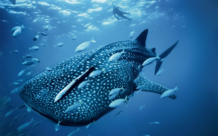 Whale shark-MAC OS X Mountain Lion HD Wallpapers Views:45117