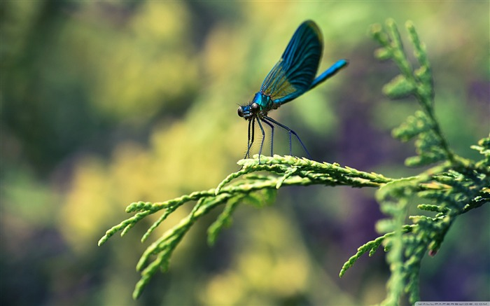 blue dragonfly-Animal Widescreen Wallpaper Views:6873