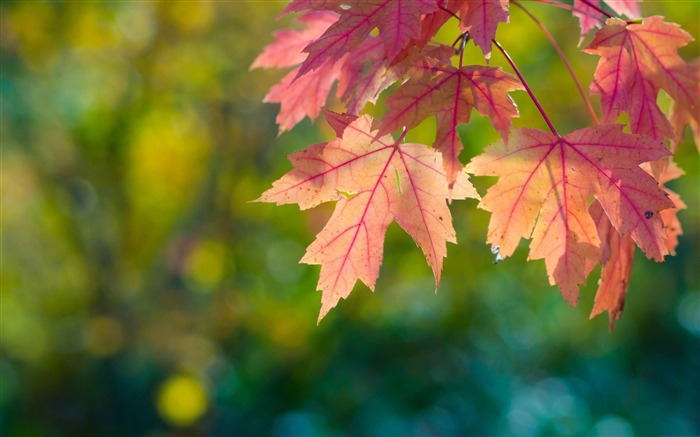 fall sun leaves and bokeh-Autumn Nature Wallpapers Views:9489
